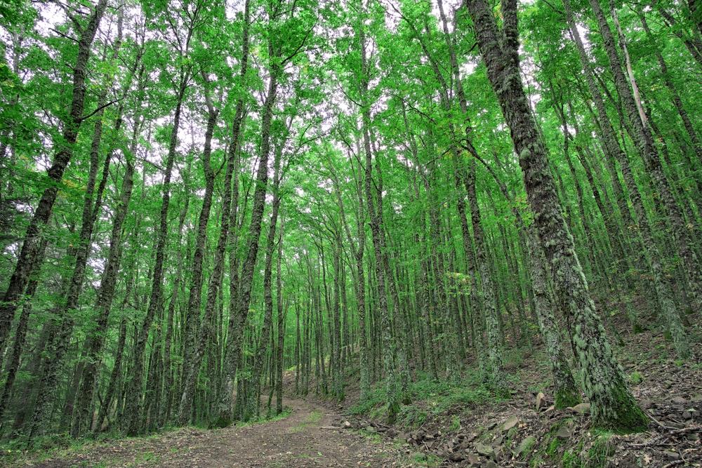 Parco dei Nebrodi, foresta