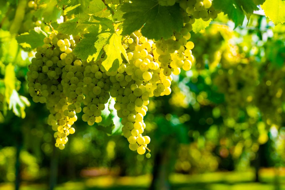 Il vitigno malvasia