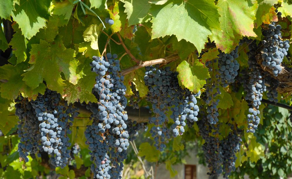 Il vitigno nero d'Avola